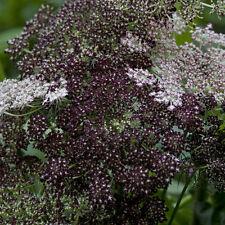 Kings Seeds - Daucus Carota Dara - 100 Seeds