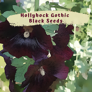 Hollyhock Gothic Black Flower Seeds