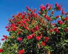 Callistemon citrinus Red Bottlebrush Seeds