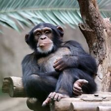 Greeting Sound Card By Really Wild Cards - Chimpanzee