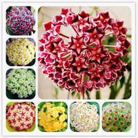 24 Color Orchid Ball Flowers Plants Hoya Carnosa Bonsai Garden 100 Pcs Seeds NEW