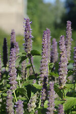 anise hyssop Anise Hyssop - herb - licorice scented foliage, 1235 seeds! GroCo