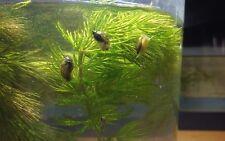 20 + Live Feeder Tadpole Snails / Cleaner Snails