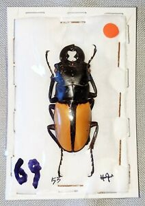 BEETLE - Odontolabis versicolor male from S. India
