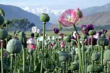Poppy Papaver Somniferum MIX Pavots Somnifères Mélange 0,25 gramme +/-  500 gr