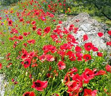 PAPAVER RHOEAS papavero rosso red poppy 0,5 g circa about 2500 semi seeds