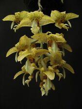 Fragant Stanhopea shuttleworthii x ruckerii 4 bulbs 2 new shoots 33 x 30 N.B.S
