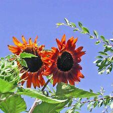 SUNFLOWER Evening Sun Seeds (F 190)