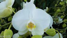 Phalaenopsis Amabilis. Small White.Two Spikes