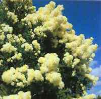 Snow in Summer Seeds Frost Tolerant Small Dense Crown Shade Tree Easily Grown