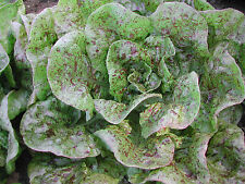 "ORGANIC ""Speckles"" Butterhead lettuce Bibb like 50+ seeds Amish Heirloom Non-GMO"