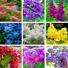 100 Lilac Tree Seeds Mixed Beautiful Decorative Japanese Bonsai Plants in Garden