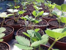 3 Of plants strawberry MARA DE BOIS - The the most best strawberry in the world