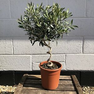 Pair of Twisted Olive Trees