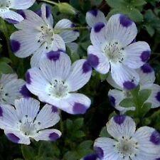five spot, UNUSUAL, EYE-CATCHING, purple flower, 120 seeds! GroCo