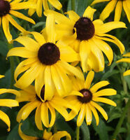 3000 Black Eyed Susan Flower Seeds Rudbeckia Hirta Perennial - COMB S/H