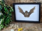 p40b Taxidermy Black bearded Tomb Bat Framed Shadowbox Curiosities collectible