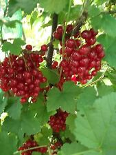 100 HEAVY CROPPER RED CURRANT SEEDS