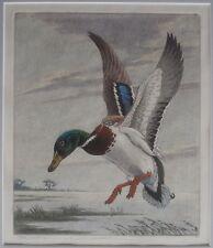 MALLARD Etching Duck Waterfowl Hunting SPORTING ART Benson Moore SOUTHERN ARTIST