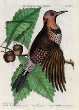 Antique Print-SPECHT-WOODPECKER-PL. XXXVI-Catesby-Seligmann-1768