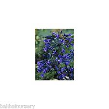3 Agapanthus Back in Black dark blue onto black flowers garden perennial plant