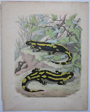 "Gaspey ""Fire Salamander Pl. 20"" from ""Book of the World"" ~1852~ w/text Amphibian"