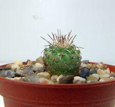 Strombocactus corregidorae  Nr. 2