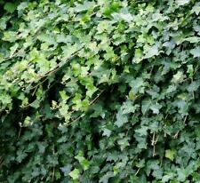 16 English Ivy cuttings 6 to 8 inches. Collected and shipped. Air purifying.