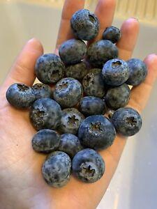 50  Blueberry Seeds Homegrown Edible Bush Garden Vine Fruit Organic USA Berry
