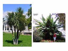 Palmen-Set für Haus und Garten: die schlanke Keulenlilie und die Bananenstaude !