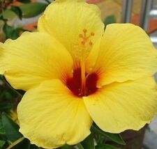 LEMON DELIGHT Hibiscus tropical extra-large yellow flowers plant in 140mm pot