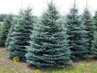 "Colorado Blue Spruce Tree - Evergreen Conifer Rooted - 3 Plants in 2.5"" Pots"