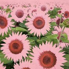 Usa Seller 50 Bright Pink Sunflower Seeds Plants Garden Planting