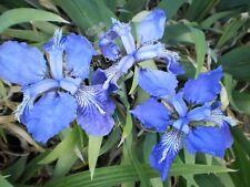 10 x SEEDS BLUE/PURPLE JAPANESE ROOF IRIS - IRIS tectorum - OPEN POLLINATED