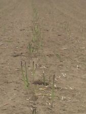 30 Jersey Giant  Asparagus crowns  roots  Best Green Spear 1 1/2 years old