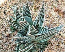 TIGER ALOE variegata exotic succulent rare agave haworthia plant seed 10 SEEDS