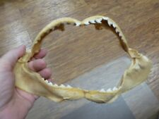 "(sj470-115-8) 9"" Tiger SHARK B grade jaw sharks teeth taxidermy educational"