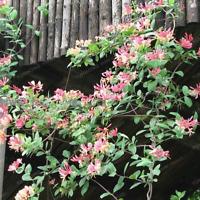 200 Pcs Seeds Honeysuckle Bonsai Jinyinhua Garden Plants Lonicera Japonica NEW Q