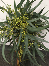Seeded Willow Eucalyptus Bunches Wholesale / Grower Direct