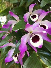 New listing Orchid Plants dendrobium Nobile Thailand species