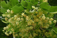Small Leafed Lime - Tilia Cordata - 40 Seeds - Lovely Native Tree