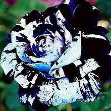 5 graines rosier blue waldorf