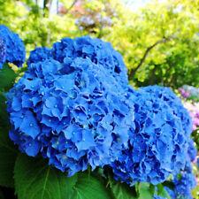 50PCS Blue Seeds of Hydrangea Flower Home Beautiful Potted Decor Precious