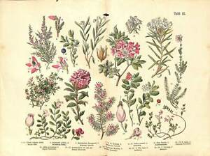 1887 BLUEBERRY CRANBERRY ALPINE AZALEA Lithograph FOLIO Print Dr. M. Funfstuck