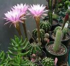 ECHINOPSIS PINK/WHITE FLOWERS Cactus Succulent Plant