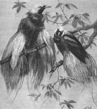BIRDS. Birds of Paradise, antique print, 1862
