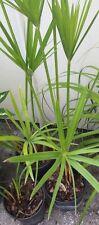 Cyperus alternifolius Papyrus live plant 2-3 foot tall! several stems artistic!