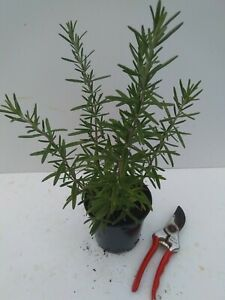 Rosemary officinalis  - good sized plant 1L (13cm) pot