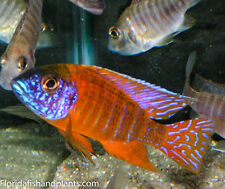 (1) German Red Peacock Aulonocara African Cichlid 1.5 inch Live Fish