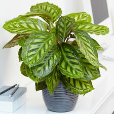 Calathea Flamestar   Best Indoor Plants   30-40cm Potted Home or Office Plant